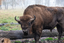 European Bison In A Forest Reserve In Lithuania
