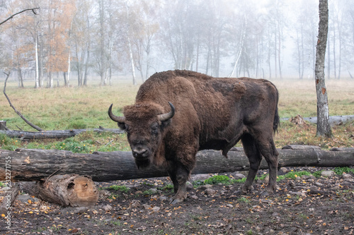 Fotografia, Obraz  European bison in a forest reserve in Lithuania