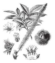 Chestnut (Castanea Sativa) / Vintage Illustration From Brockhaus Konversations-Lexikon 1908