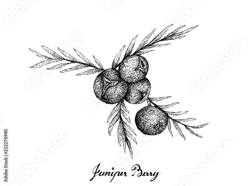 Berry Fruit, Illustration Hand Drawn Sketch of Juniper Berries Isolated on White Background Canvas Print