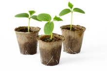 Cucumber Seedlings In Peat Pots On White Background
