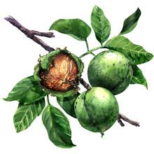 Ripe Walnut, Nut, Walnuts Frui...