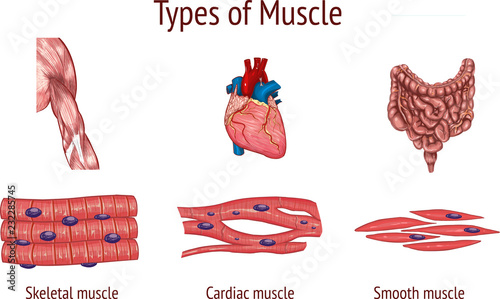 Fotografie, Obraz  vector illustration of a Types of Muscle
