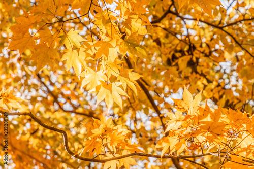 Spoed Fotobehang Berkbosje 鮮やかな紅葉の木