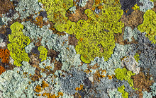Color Lichen On Stone Top View