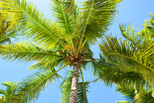 Tree, Palm, Coconut, Tropical, Nature, Green, Leaf, Animal, Fruit, Sky, Leaves, Palm Tree, Plant, Squirrel, Coconuts, Jungle, Blue, Trees, Beach, Summer, Coconut Tree, Exotic, Forest, Asia, Caribbean