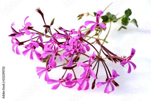 Kapland-Pelargonie, Umckaloabo, Pelargonium, reniforme