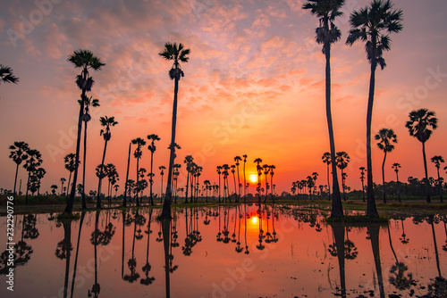 Papiers peints Corail Sugar palm tree and sunrise in the morning ,Landscape silhouette, Reflecting light in the field during farmer sowing. Is a beautiful reflection in Pathum Thani ,Thailand