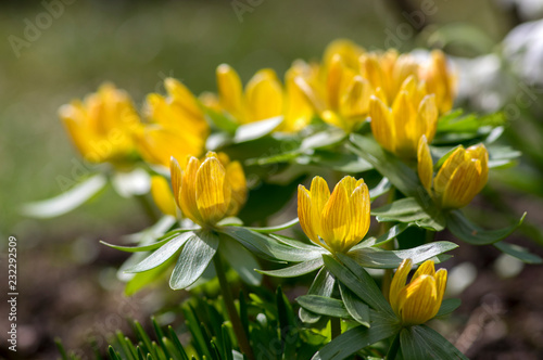 Photo Bunch Eranthis, common winter aconite in bloom, early spring bulbous flowers, ma