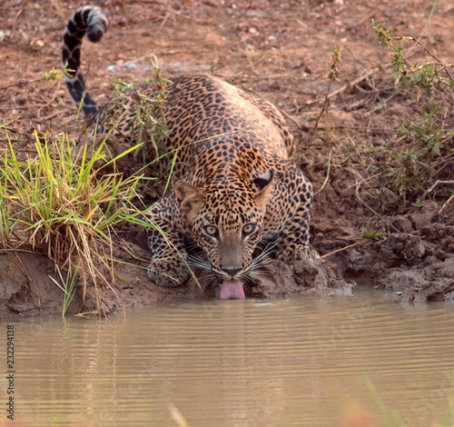 Leopard have a drink