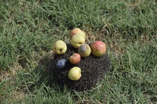 Hedgehog On A Green Grass. Hedgehog Needles Pinned On Apples, Peaches And Plums. Hedgehog Curled Up Into A Ball.