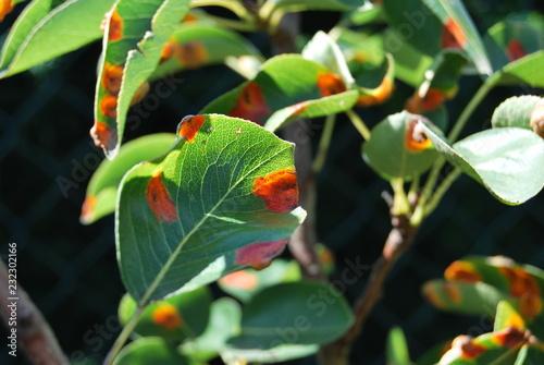 Birnengitterrost auf Birnenblättern