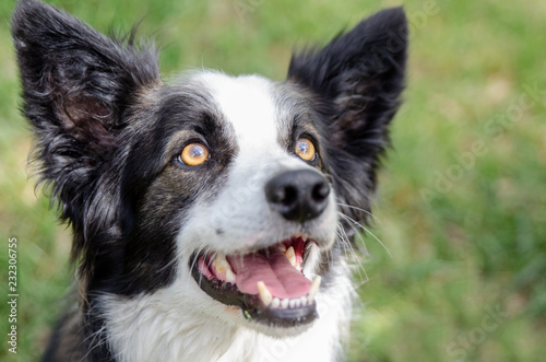 Foto Close up of beautiful young Border Collie with lovely amber eyes and open mouth