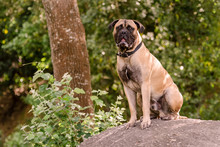 Beautiful Bull Mastiff Sitting On A Rock In A Parkland Setting