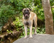 Beautiful Bull Mastiff Dog Sta...