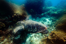 Big Turtle Between Reefs