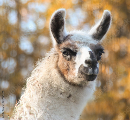 Spoed Foto op Canvas Lama beautiful llama