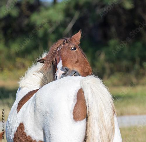 Feral Ponies of Assageague Island
