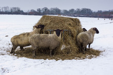 A Small Group Of Blackfaced Sheep Feeding On A Hay Bale In A Snow Covered Field On A Winters Day In The UK