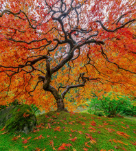 Fall Japanese Maple Tree In Portland, Oregon