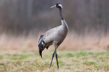 Birds -Common Crane (Grus Grus)