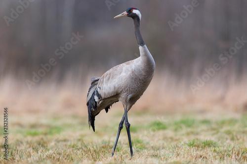 Naklejki żurawie  birds-common-crane-grus-grus