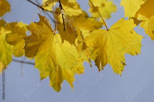 Fotografie, Obraz  Ahorn (Acer palmatum), gelbes Herbstlaub