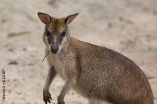 Foto op Canvas Kangoeroe kangaroo eating grass