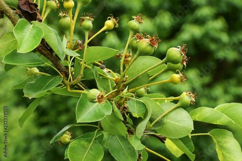 Fruchtansatz der Birne, Pyrus communis