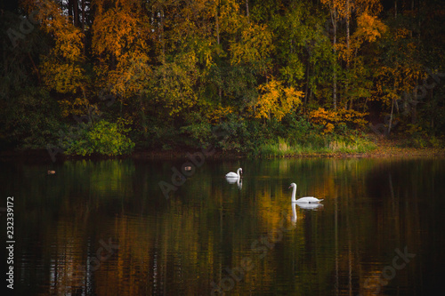 Fotografie, Obraz  Two swans on lake with calm surface with trees in yellow and orange leafs in autumn season