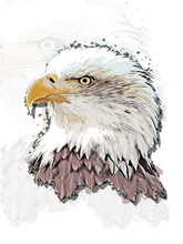 Eagle Head Vector Colorful Realistic Hand-drawn Sketch Style Isolated Illustration With Big Transparent Eagle Background