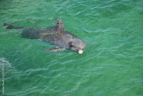 Fotografia  delfin w morzu