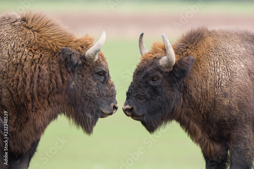 Spoed Foto op Canvas Bison European bison - Bison bonasus in the Knyszyn Forest (Poland)