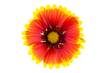 Indian Blanket Flower (gaillardia X Grandiflora)