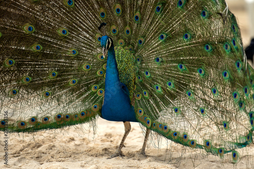In de dag Pauw Peacock on a sandy beach in the Mexican Caribbean