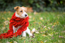 Cute Happy Jack Russell Pet Dog Puppy As Wearing Red Scarf - Christmas Card, Cold Winter Or Autumn Concept