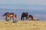 Herd of Wild Horses in the High Desert in Summer