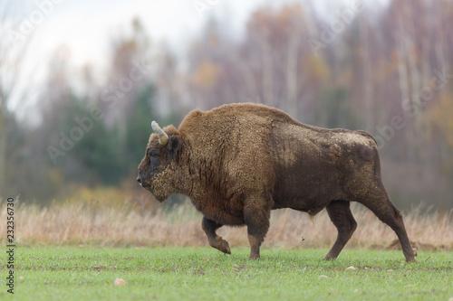 Foto auf AluDibond Bison European bison - Bison bonasus in the Knyszyn Forest (Poland)