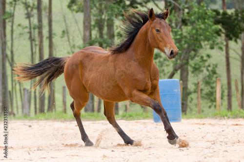 Fotografie, Obraz  Potro - cavalo quarto de milha