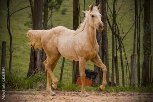Fototapeta Potro - cavalo quarto de milha obraz