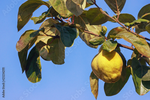 Autumn. Branch of  quince tree ( Cydonia oblonga ) with leaves and one ripe fruit against  blue sky