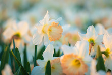 Colorful Blooming Flower Field With White Narcissus Or Daffodil Closeup During Sunset.
