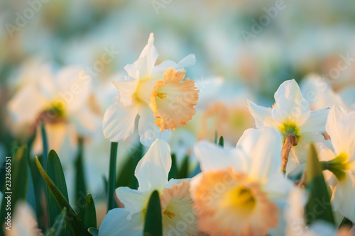 In de dag Narcis Colorful blooming flower field with white Narcissus or daffodil closeup during sunset.