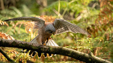 Kestrel About To Take Off, Flaps His Wings To Generate Lift (motion Bur)