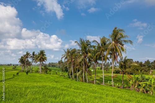 Aluminium Prints Bali Beautiful view of Balinese green rice growing on tropical field terraces