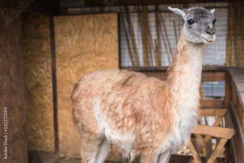 Spoed Foto op Canvas Lama bright adult lama looks aside