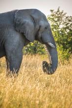 African Elephant (Loxodonta Africana), Feeding In Tall Grass, Etosha National Park, Namibia, Africa