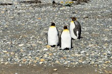 Three King Penguins (Aptenodyt...