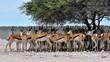 canvas print picture - Thomson-Gazellen im Schatten Im Etosha National Park Namibia