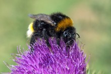 Bumblebee (Bombus) Sits On Thi...